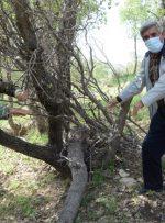درختانی که زنده به گور شده اند /قتل عام درختان مختار با هدف زمین خواری/ پیگیری ها حکایت صدور مجوز از سوی جهاد کشاورزی دارد